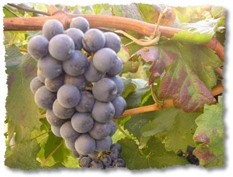 uva rossa area DOC Lison Pramaggiore